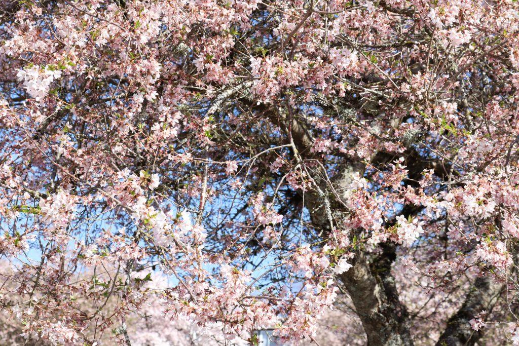 Cherry Blossom 2019 2