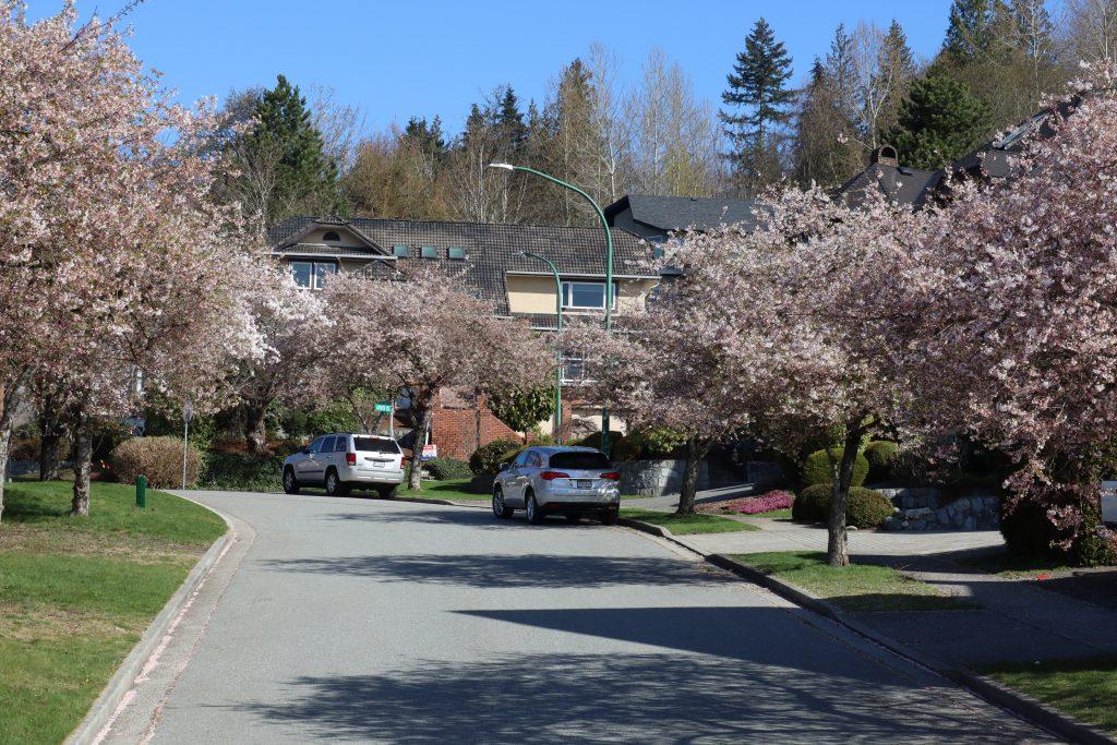 Cherry Blossom 2019 3