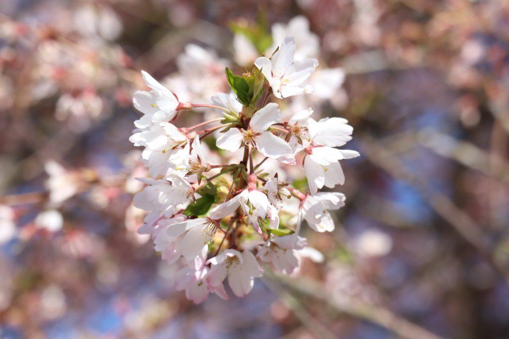 Cherry Blossom 2019 4