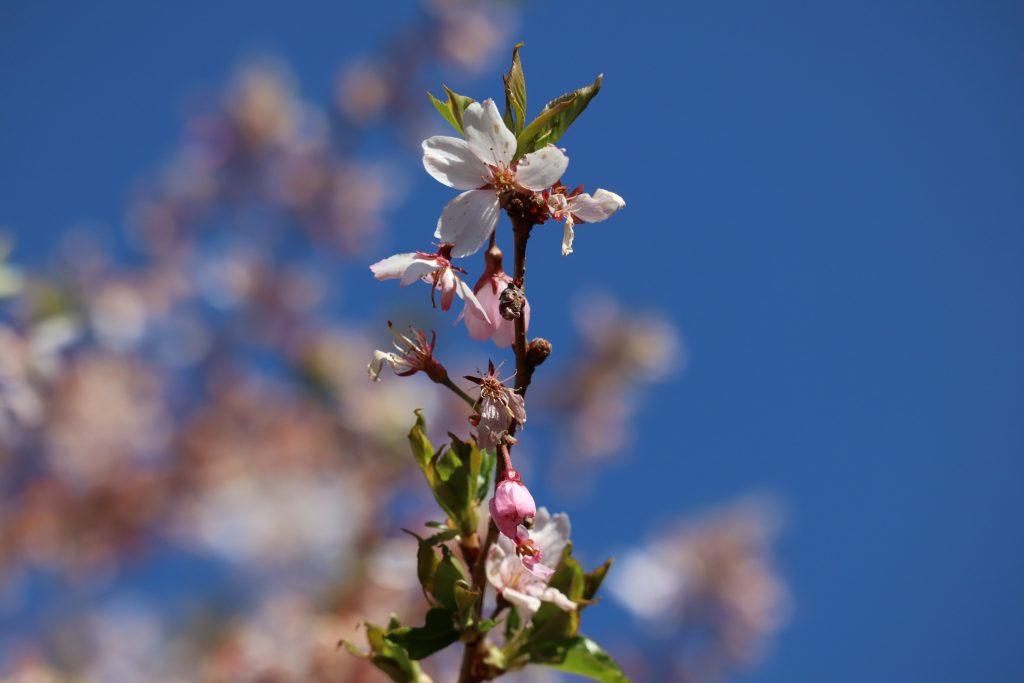 Cherry Blossom 2019 5