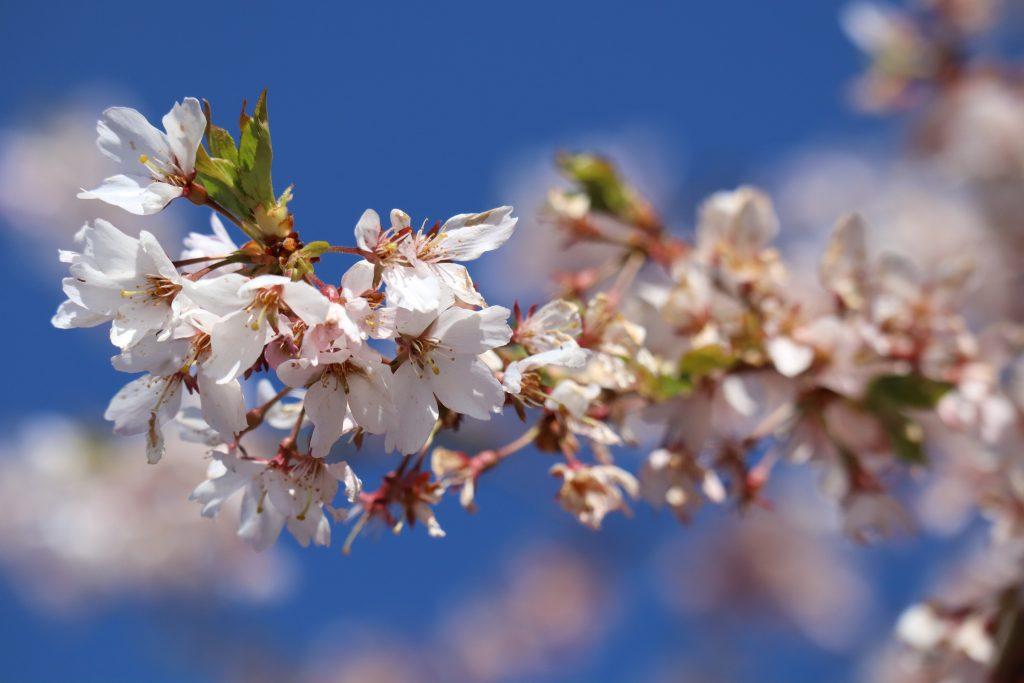 Cherry Blossom 2019 6