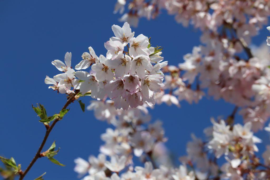 Cherry Blossom 2019 8