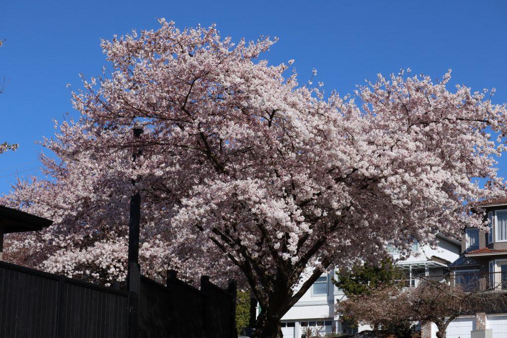 Cherry Blossom 2019 9