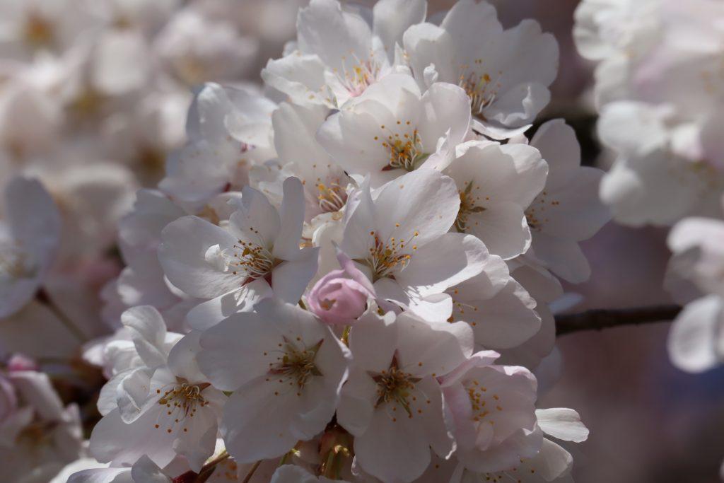 Cherry Blossom 2019 10