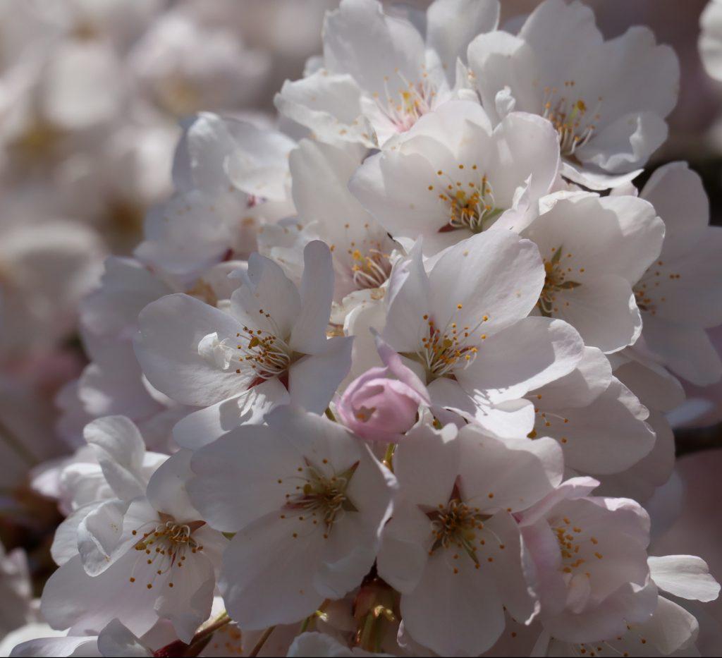 Cherry Blossom 2019 1