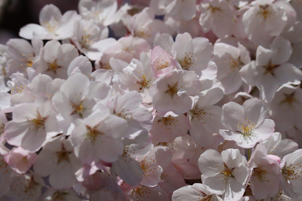 Cherry Blossom 2019 11