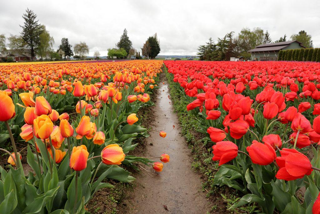 Tulip 25