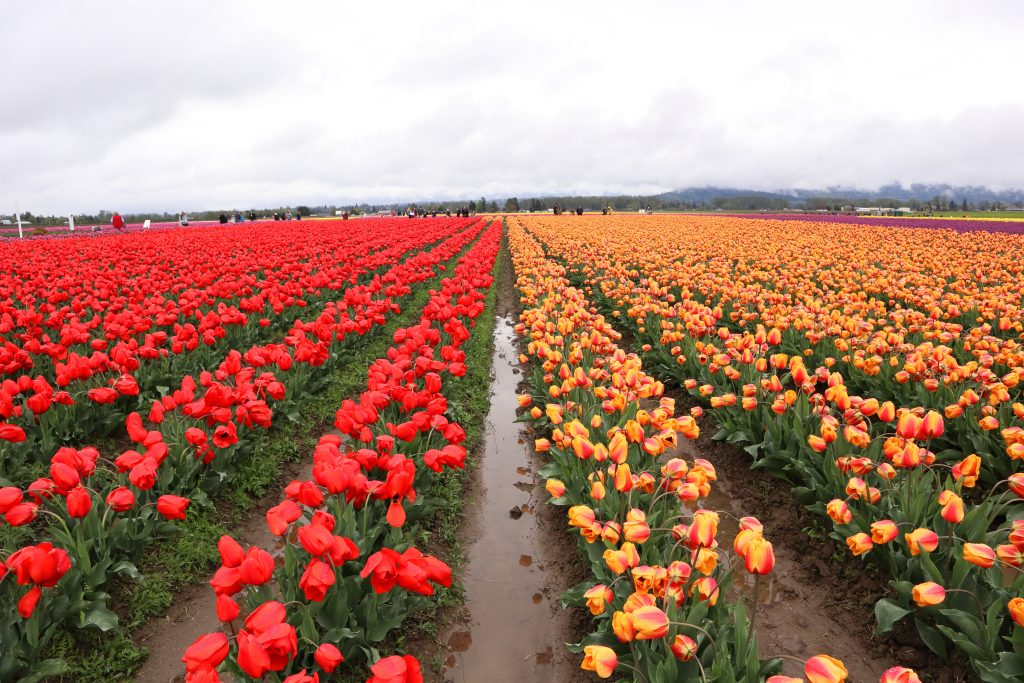 Tulip 26