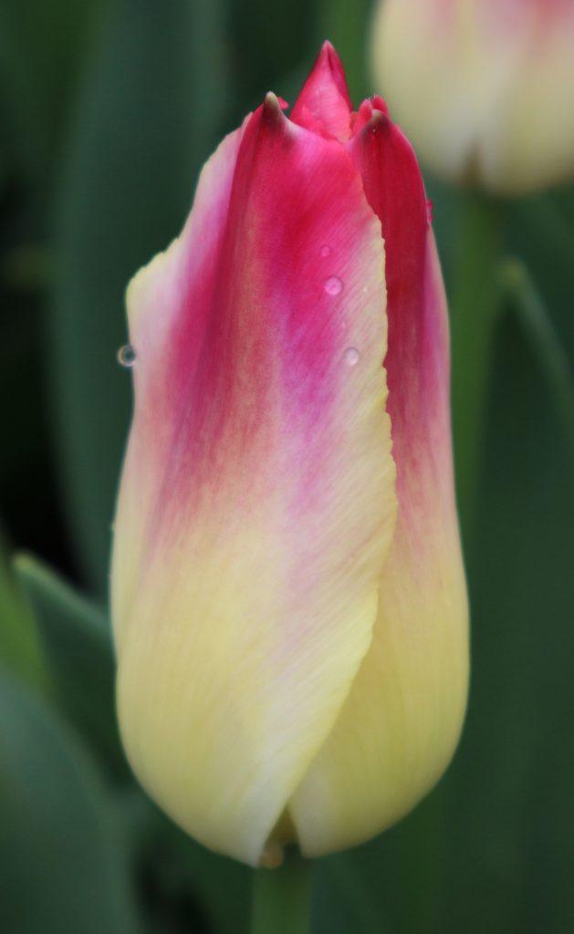 Tulip 31