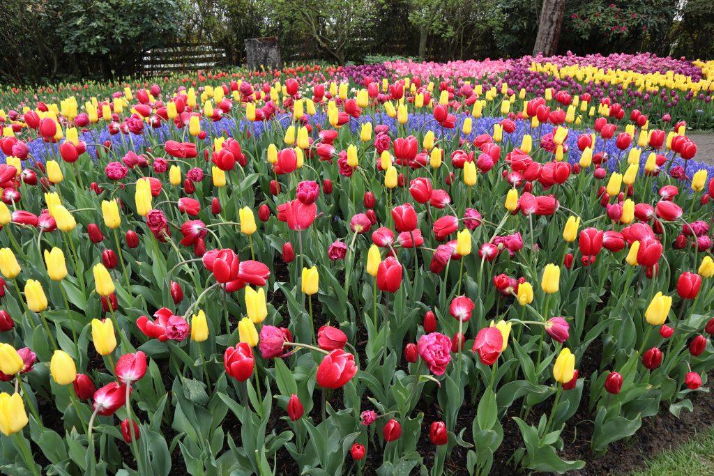 Tulip 32