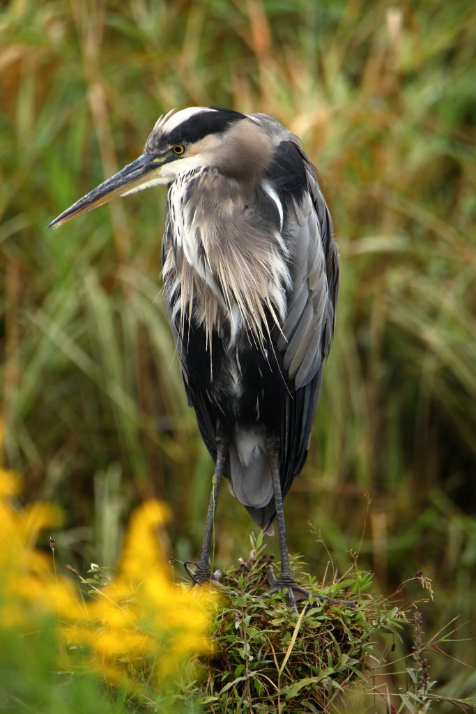 Great Blue Heron 4