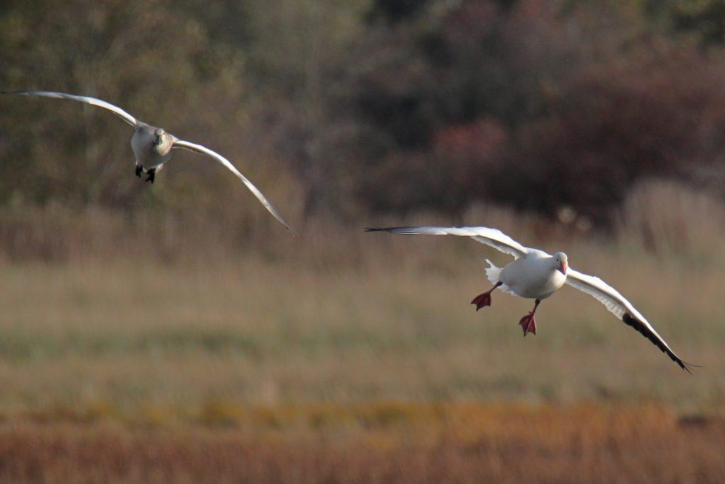 Snow Goose 13