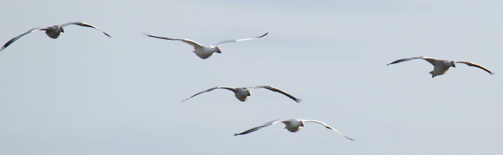 Snow Goose 15
