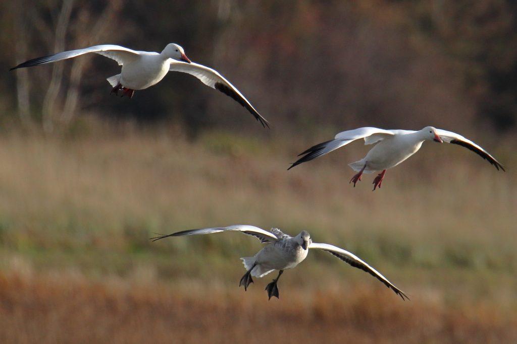 Snow Goose 16