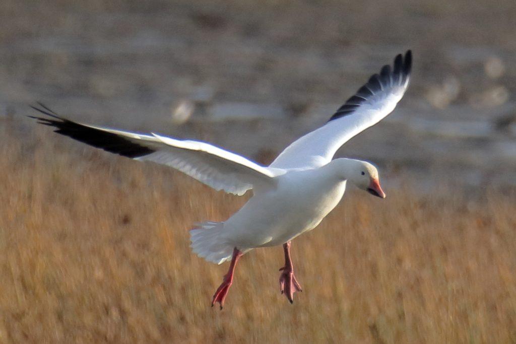 Snow Goose 22