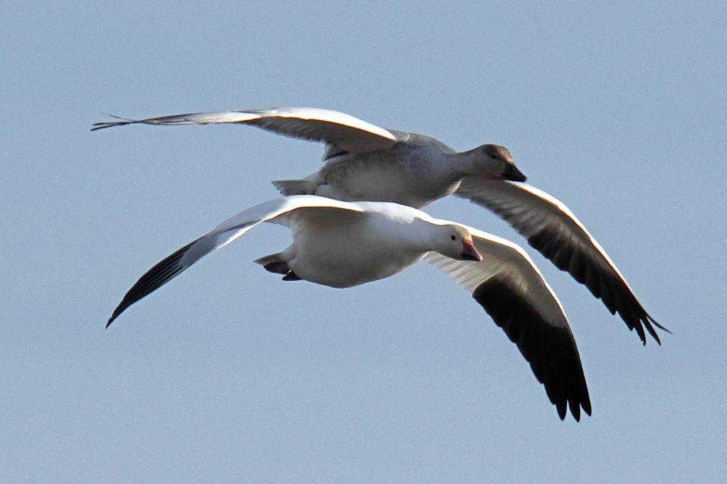 Snow Goose 24