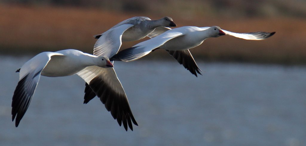 Snow Goose 36