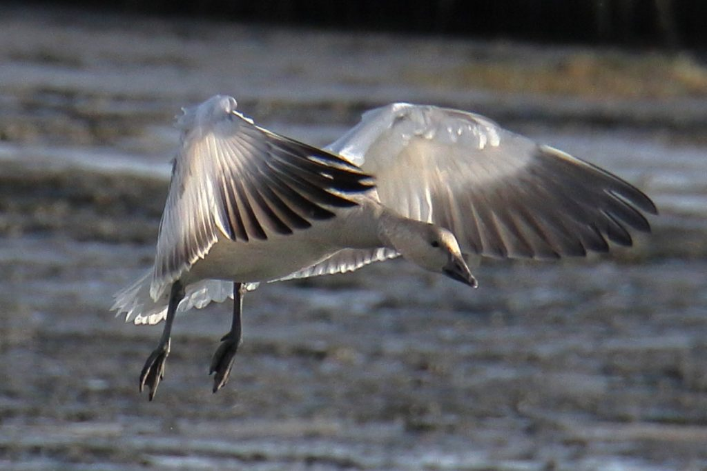 Snow Goose 38
