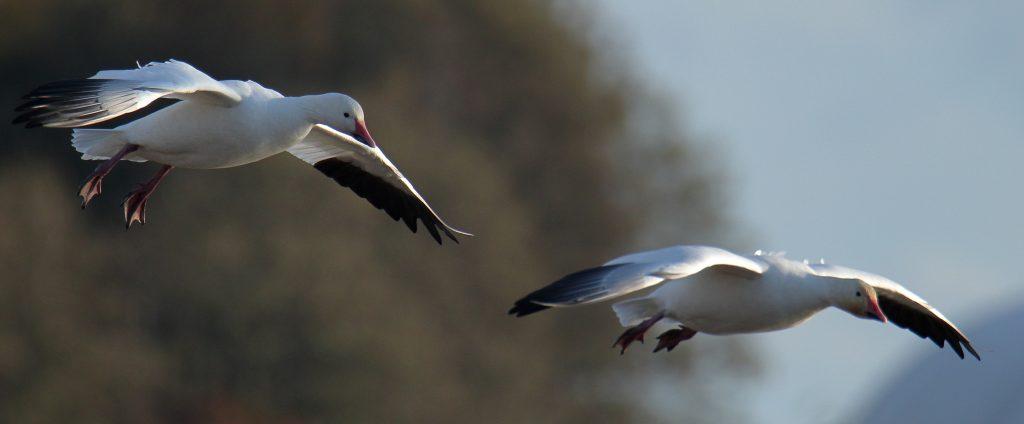 Snow Goose 39