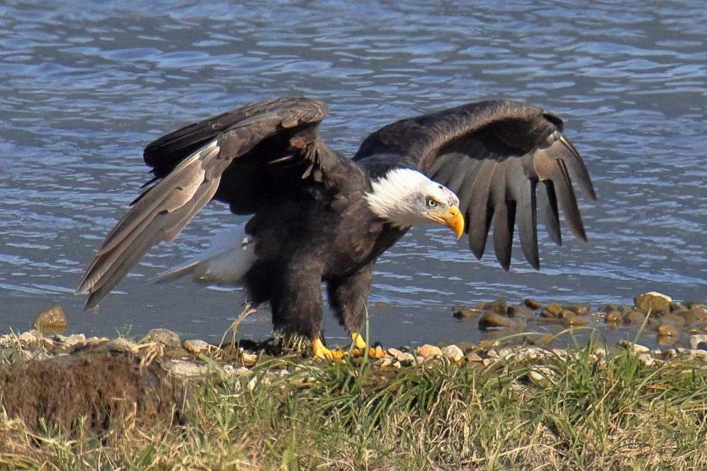 Bald Eagle 1