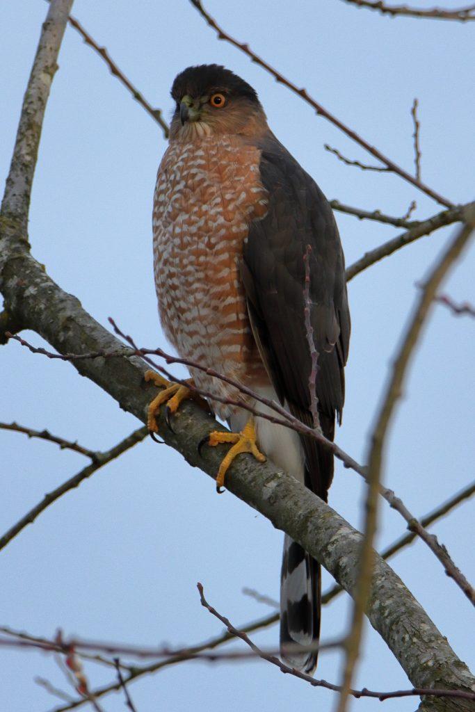 Hawks 5
