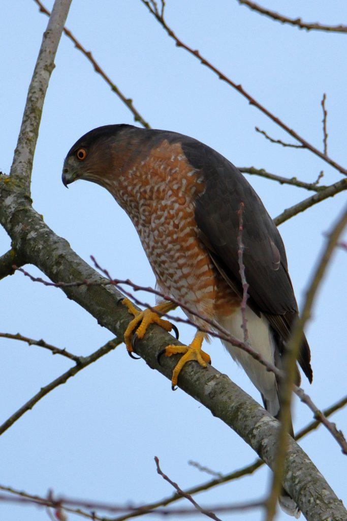 Hawks 3