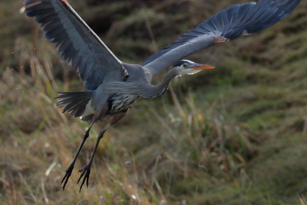 Great Blue Heron 2