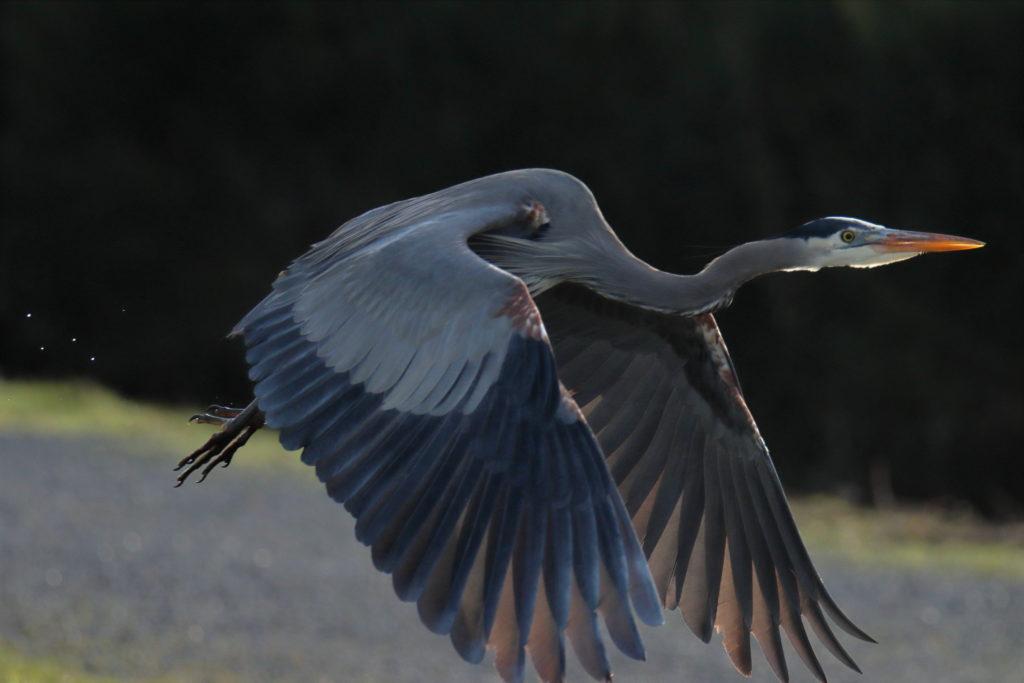 Herons 8