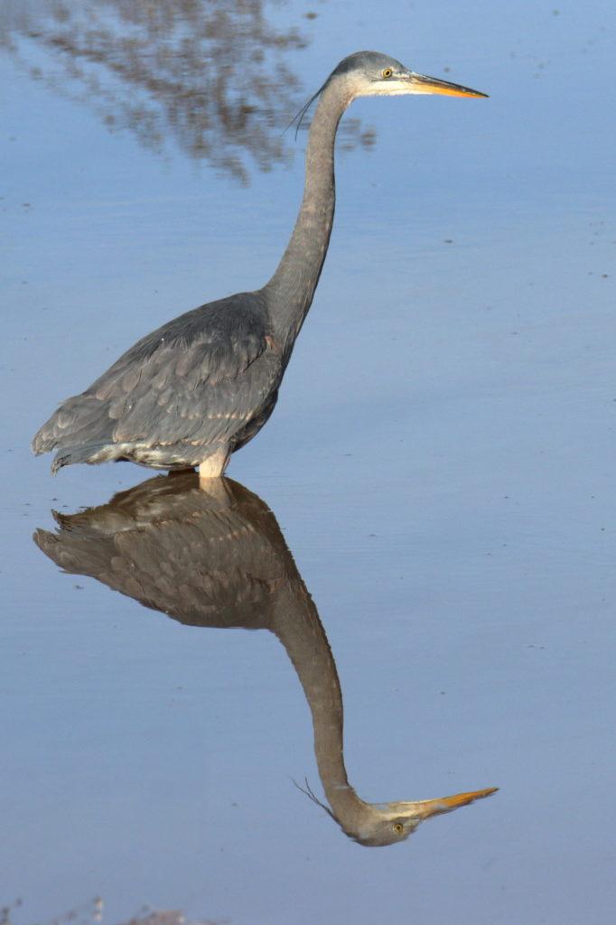 Great Blue Heron 9