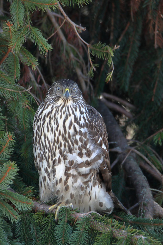 Hawks 13