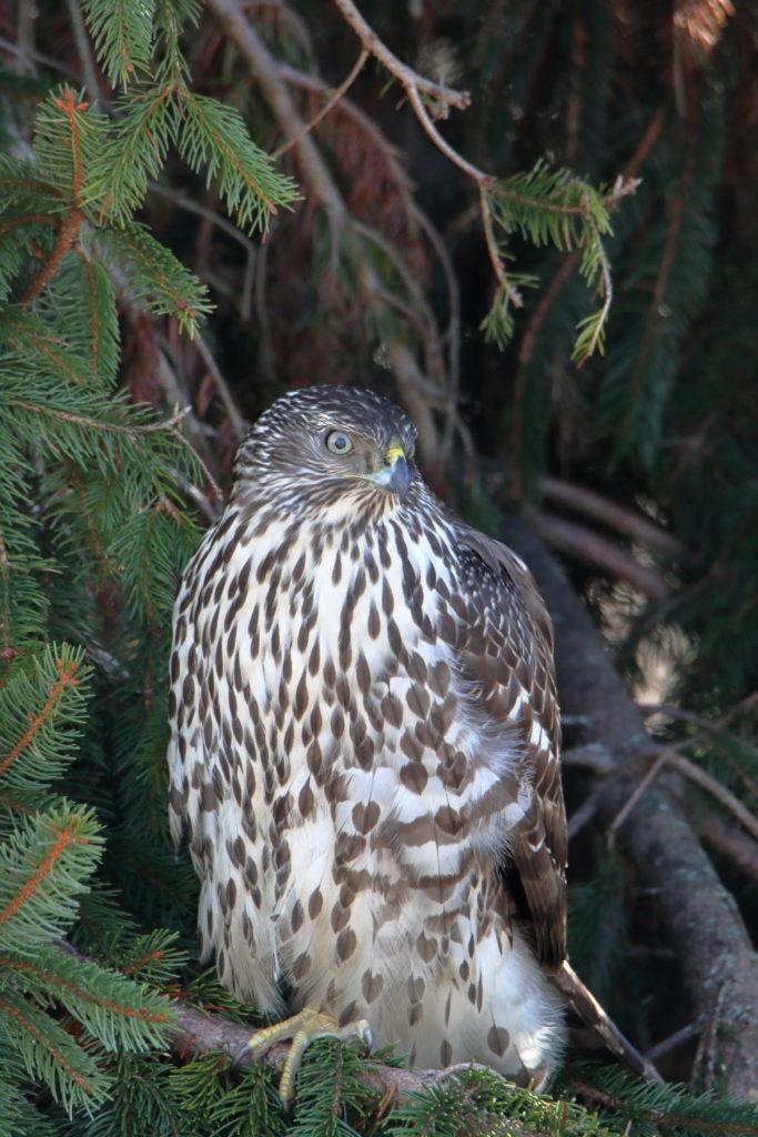 Hawks 12