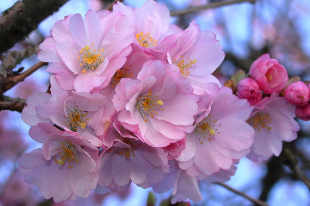 Cherry Blossom 2020 1