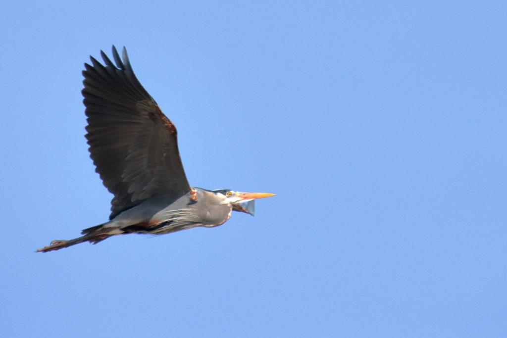 Herons 14