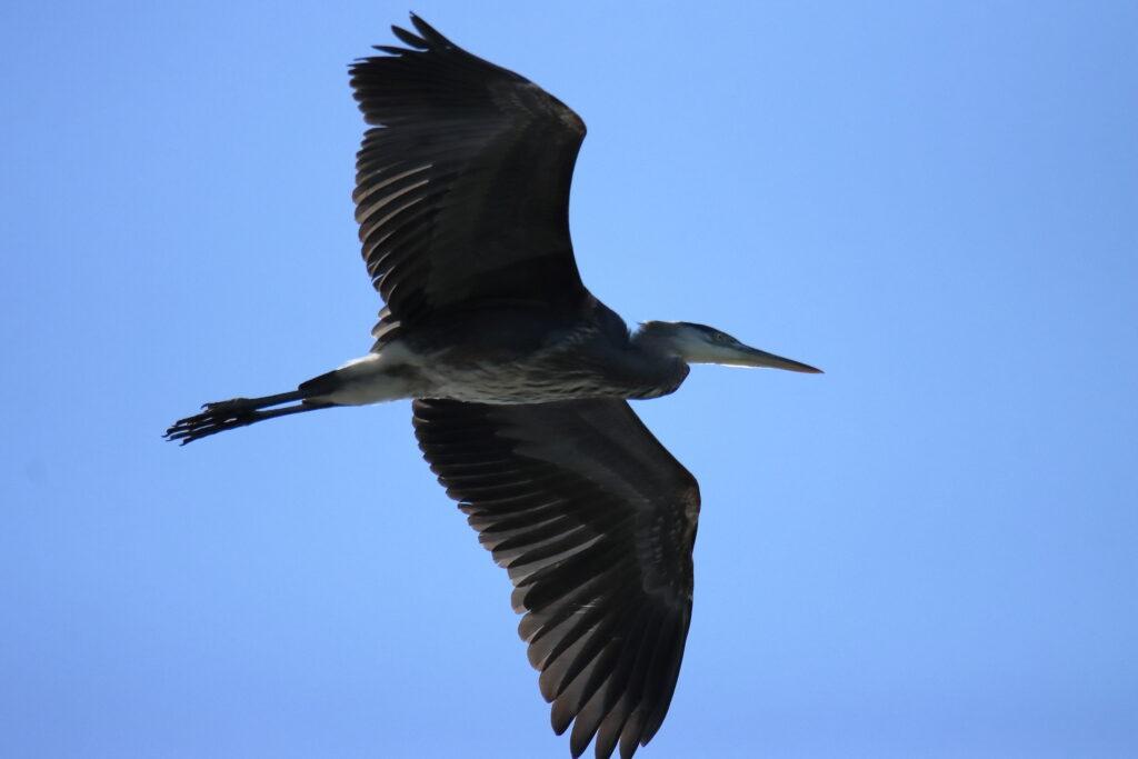 Herons 16