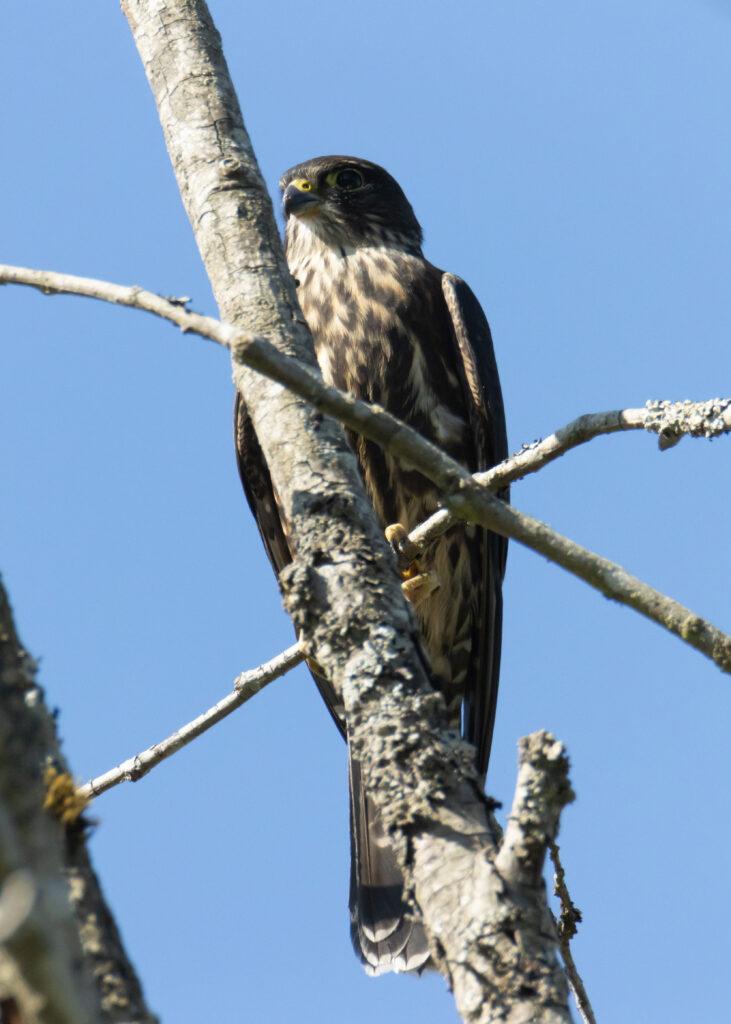 Hawks 15