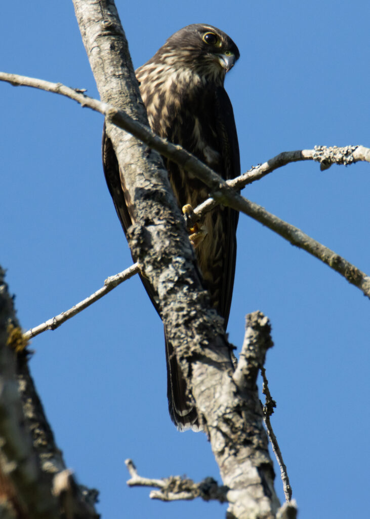 Hawks 14