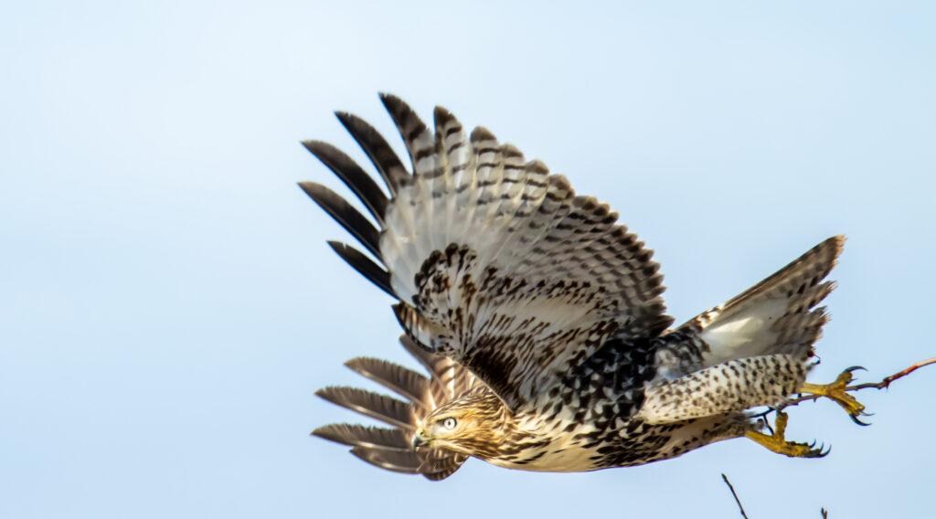 Hawks 16