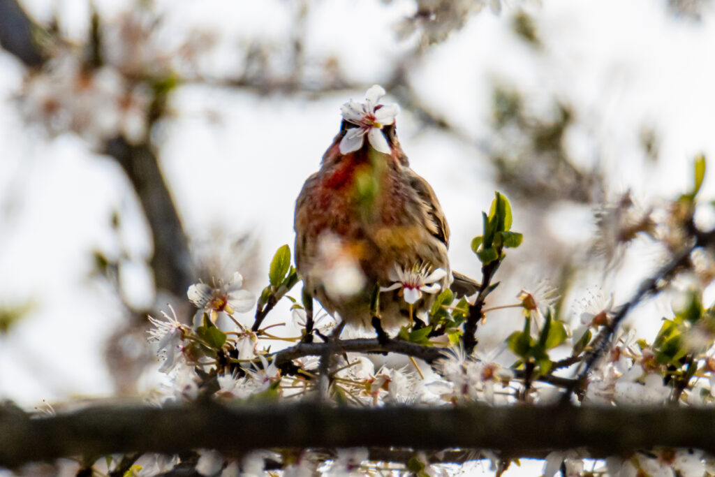 House Finch and Plum Flower 2